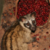Civet coffee – do you know where that coffee's been?